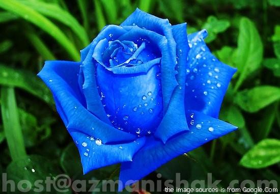 Jenis Bunga Mawar