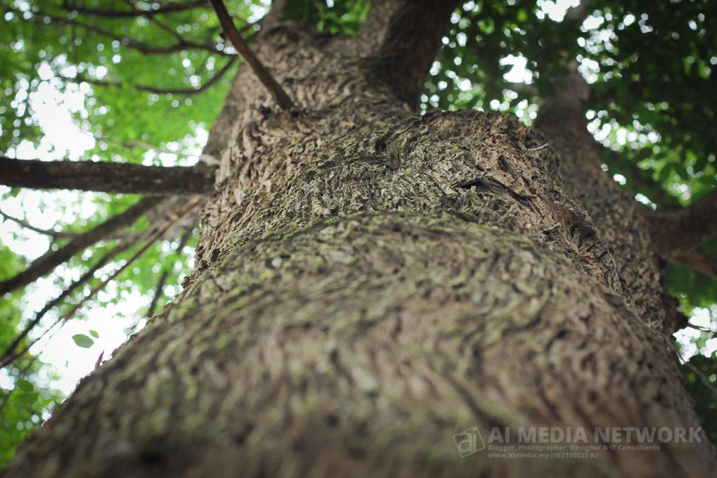 Aku suka tekstur kulitnya. Tapi sekali lagi maaf, aku dah puas mencari nama pokok ni, tapi tak jumpa kat pangkalnya.